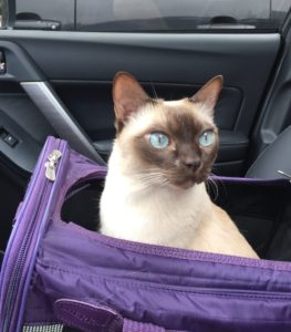 Preparing cats for car rides