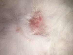 Feline skin allergies