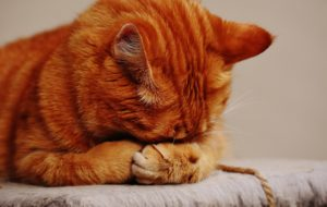 Symptoms of adverse effects of medication in cats