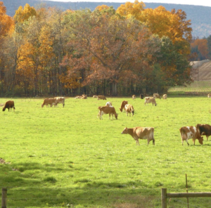 pasture-raised Jersey cows