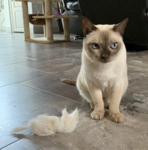 Shedding in cats
